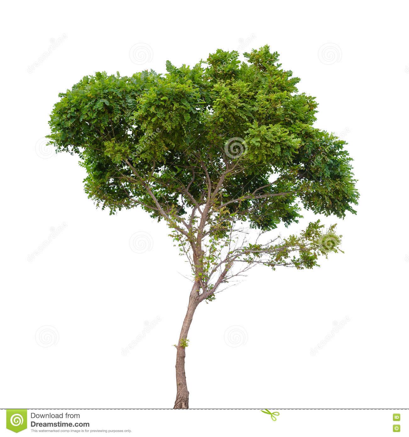 Robinia Pseudoacacia. Small Tree Isolated Stock Photo.