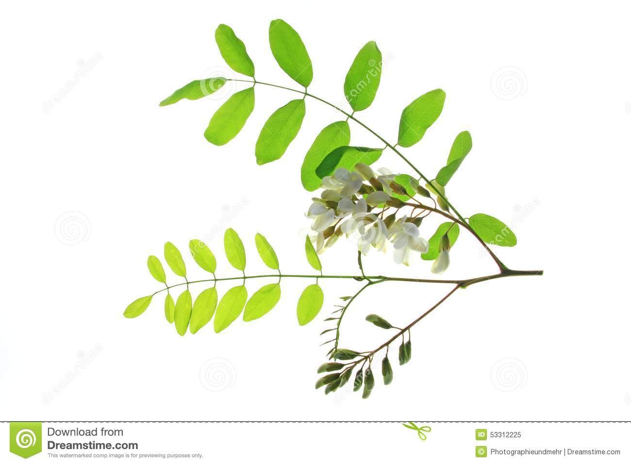Black Locust (Robinia Pseudoacacia) Stock Photo.