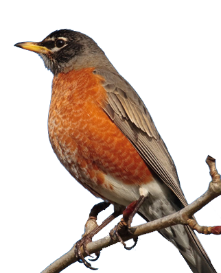 Robin bird photos clipart images gallery for free download.