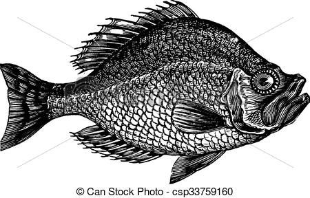Clip Art Vector of Centrarchus aeneus or rock bass fish vintage.