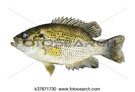 Stock Photography of Rock Bass (Ambloplites Rupstris) isolated.