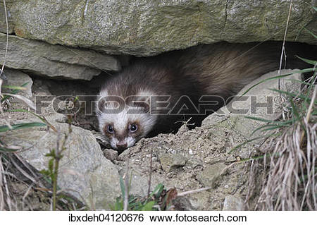 Stock Images of European polecat (Mustela putorius) in rock.