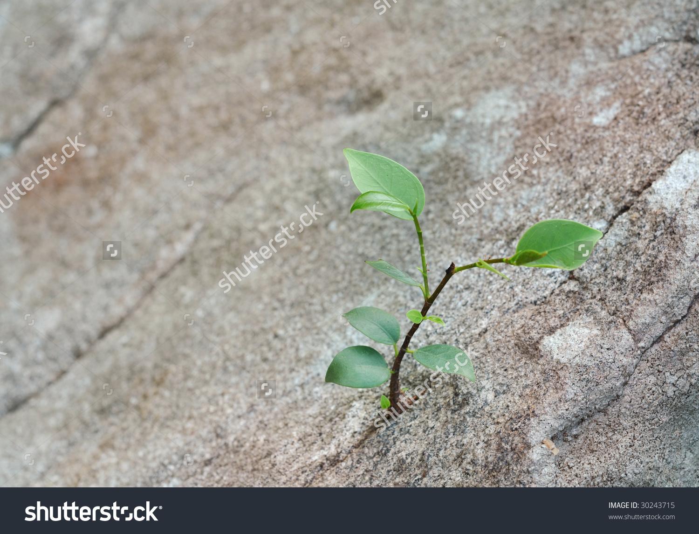 Sapling Growing Crevice Rock Stock Photo 30243715.