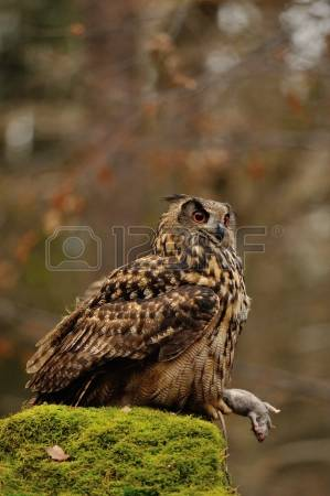 Rock Eagle Owl Stock Photos Images. Royalty Free Rock Eagle Owl.