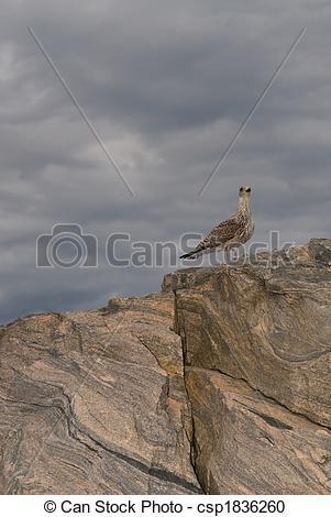 Stock Photography of Polar partridge north rock edge norway.