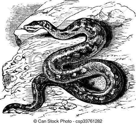 Vector Illustration of Natal rock python or Python sebae.
