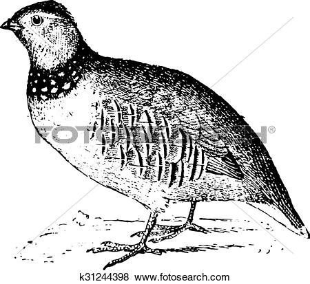 Clip Art of Rock partridge, vintage engraving. k31244398.