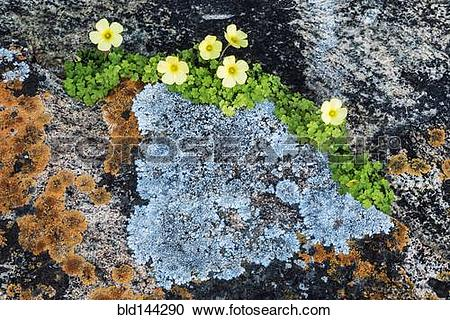 Stock Photography of Flowers and lichen growing on granite rocks.