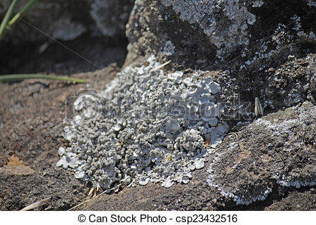Stock Photography of Xanthoparmelia, rock.