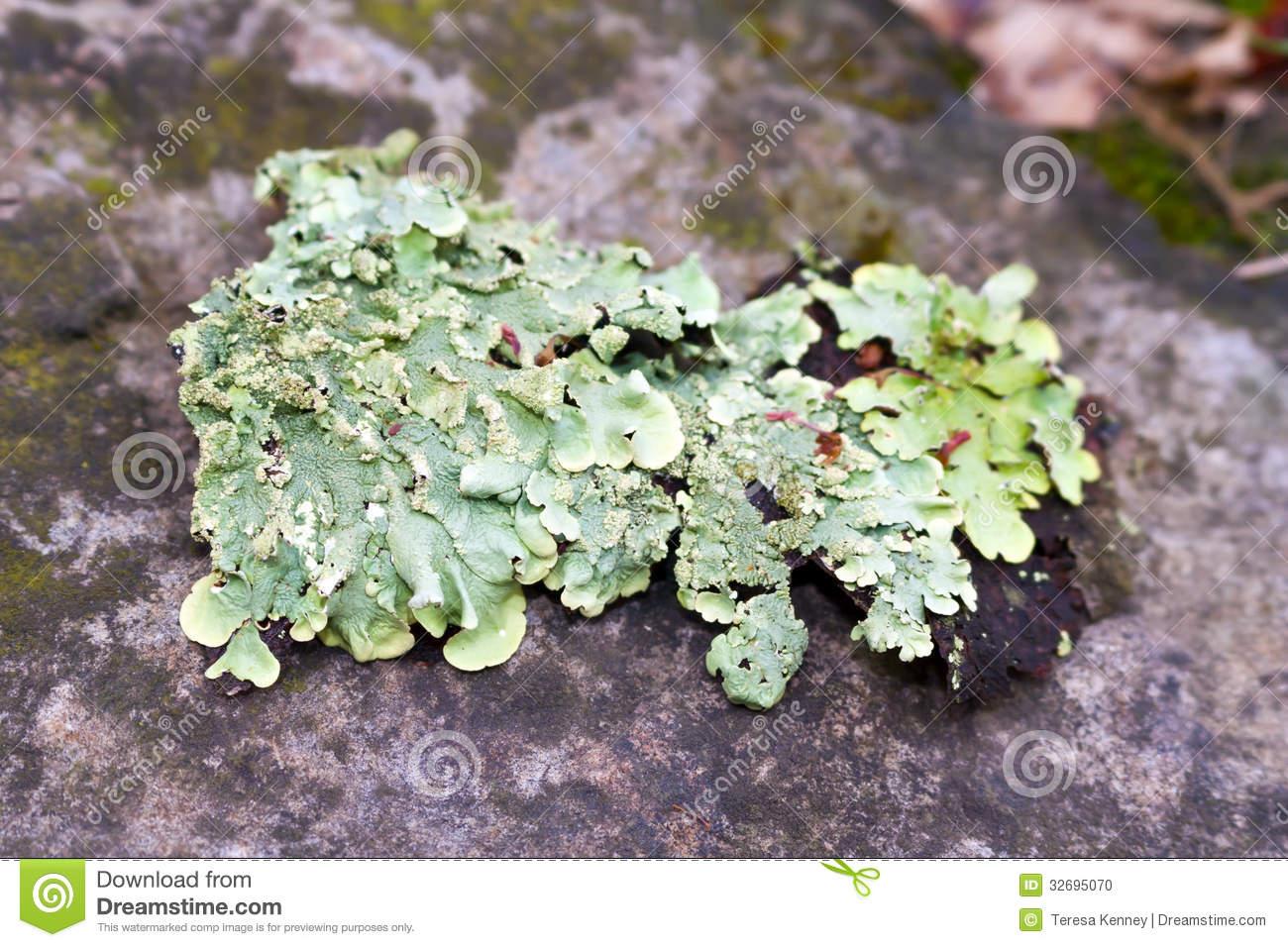 Lichen Moss Stock Photo.