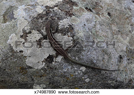 Stock Photography of Lizard camouflaged on lichen covered rock.