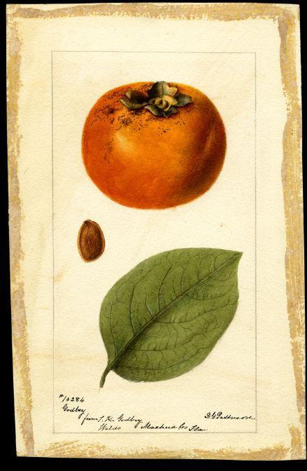 1000+ images about Botanical Illustration: Fruit & Vegetables on.