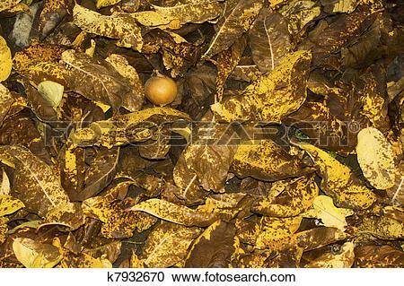 Stock Photography of Medlar leaf litter k7932670.