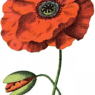 1000+ ideas about Poppy Images on Pinterest.