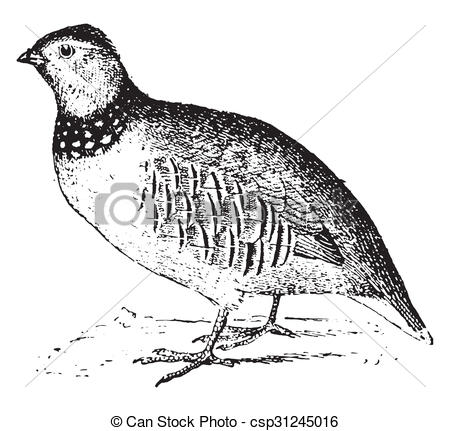 Clipart of Rock partridge, vintage engraving..