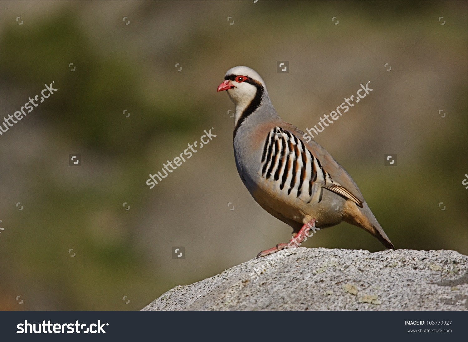 Chukar Partridge On Rock Smoothly Blurred Stock Photo 108779927.
