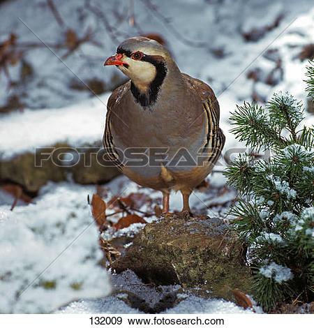 Stock Photograph of Rock Partridge in snow / Alectoris graeca.