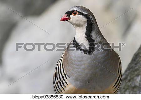 "Stock Photography of ""Rock Partridge (Alectoris graeca), captive."