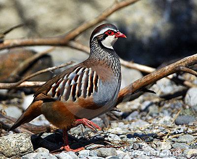 Rock Partridge; Greek Partridge Stock Image.