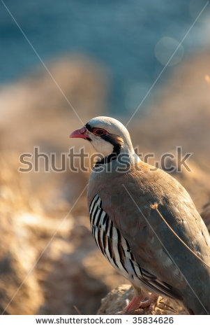 Rock Partridge Stock Images, Royalty.