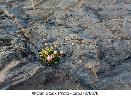 Picture of Small flowers growing in harsh rock.
