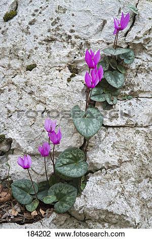 Stock Photo of European Cyclamen (Cyclamen purpurascens.
