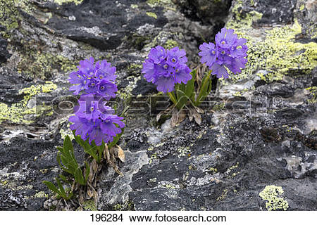 Stock Photo of Primula glutinosa Flowering plants in a rock.