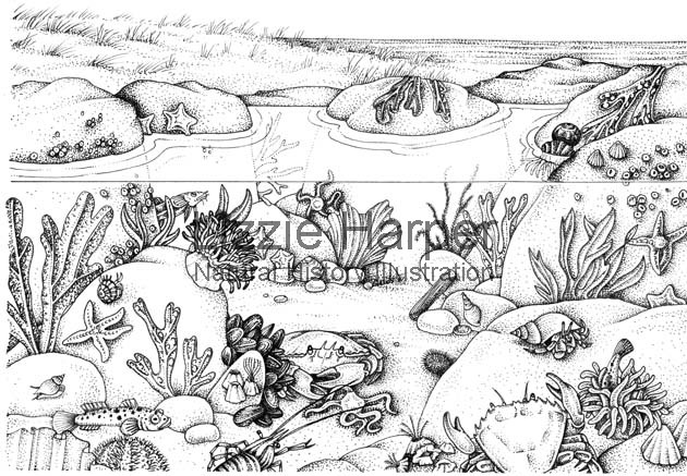 rockpool creatures coloring pages | Rock pool clipart - Clipground