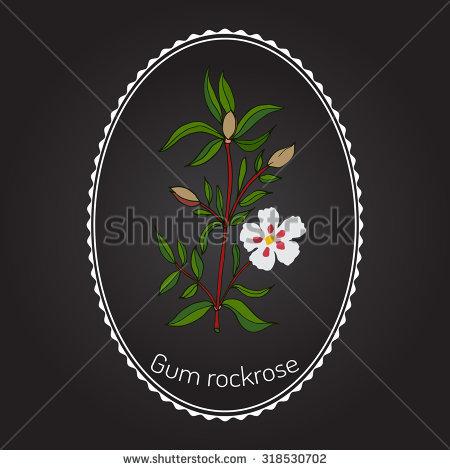 Rockrose Stock Vectors & Vector Clip Art.