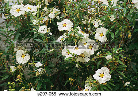 Stock Image of Rock rose plant is297.