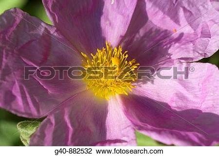 Stock Photo of Pink Rock Rose (Cistus incanus) g40.