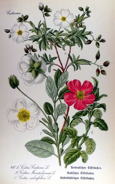 1000+ images about rock rose on Pinterest.