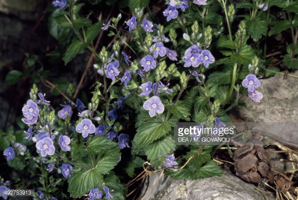 Blue Rock Speedwell Stock Photos and Pictures.