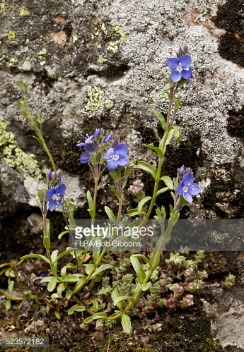 Rock Speedwell Stock Photos and Pictures.