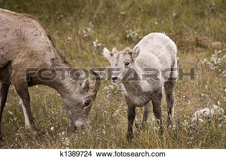 Stock Photo of 601 Young Rocky Mountain Bighorn Sheep k1389724.
