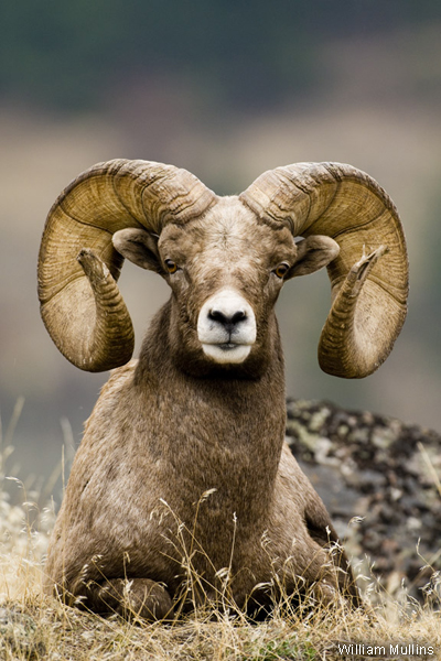 Photo of the Week: Rocky Mountain Bighorn Sheep.