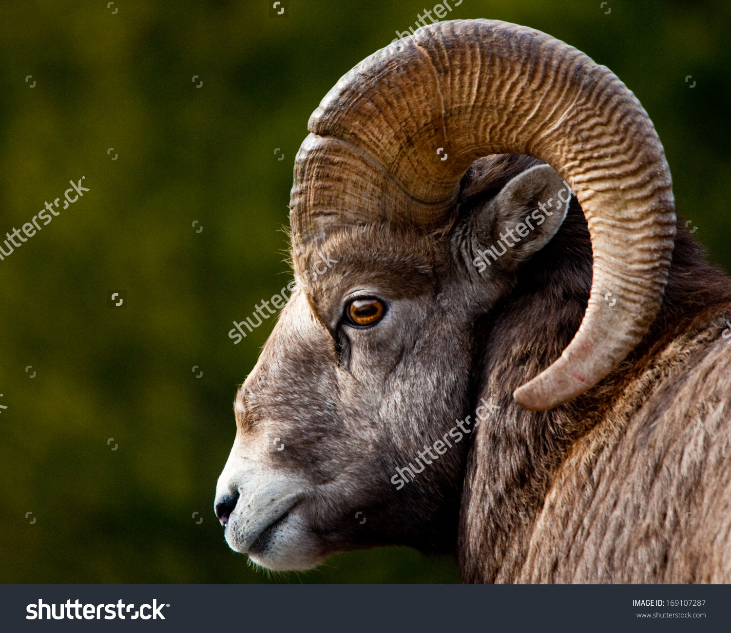 Rocky Mountain Bighorn Sheep Close Head Stock Photo 169107287.