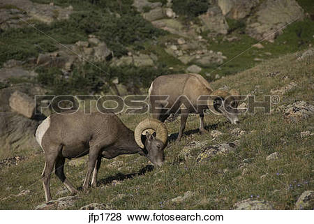 Pictures of Bighorn sheep or mountain sheep (Ovis canadensis) rams.