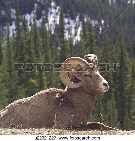 Picture of Mountain Sheep in Rocky Mountains u22021227.