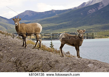 Stock Image of Rocky Mountain Sheep k8104135.