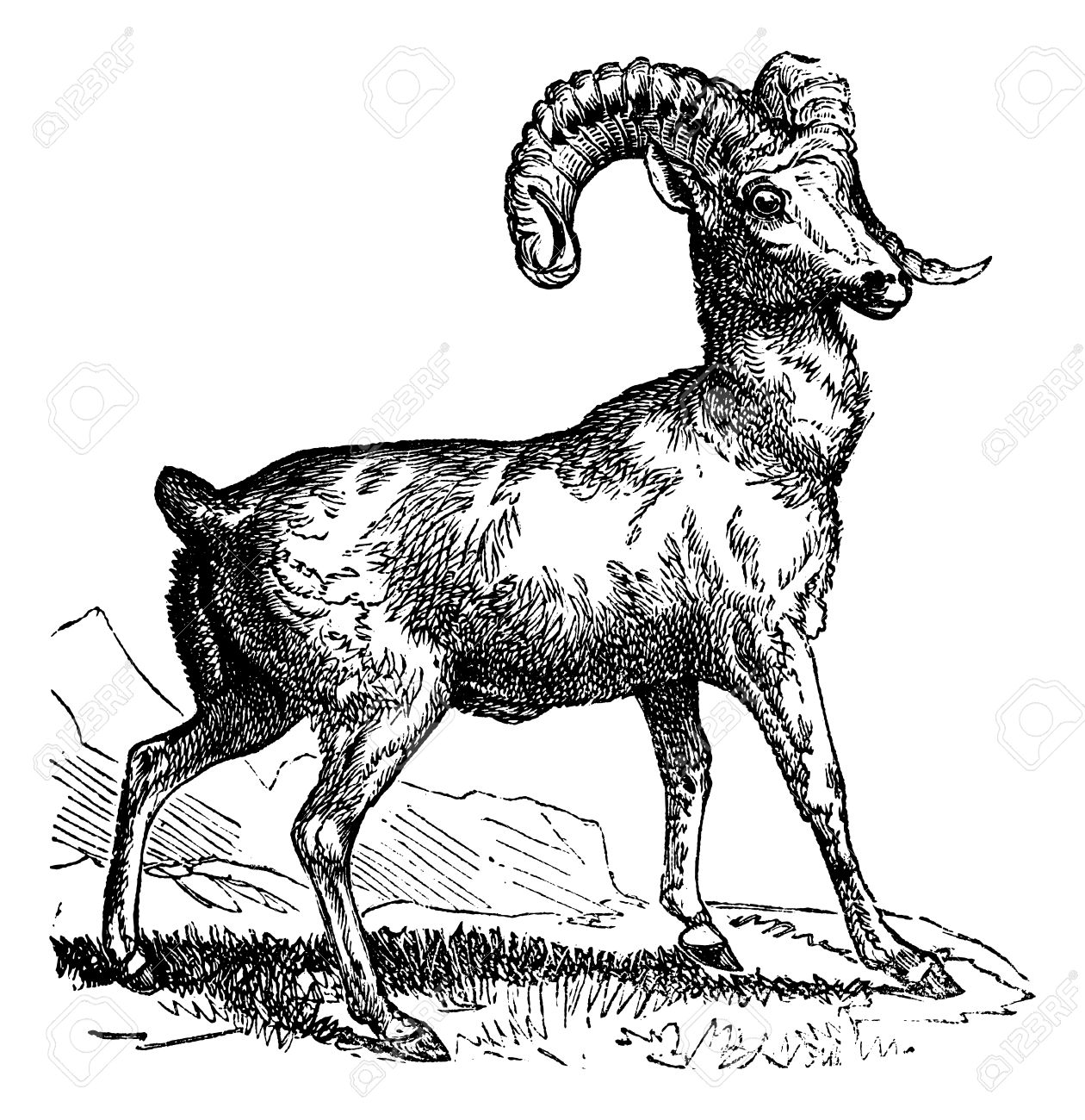 Rocky Mountain Sheep (Ovis Montana) Or Bighorn Sheep, Vintage.