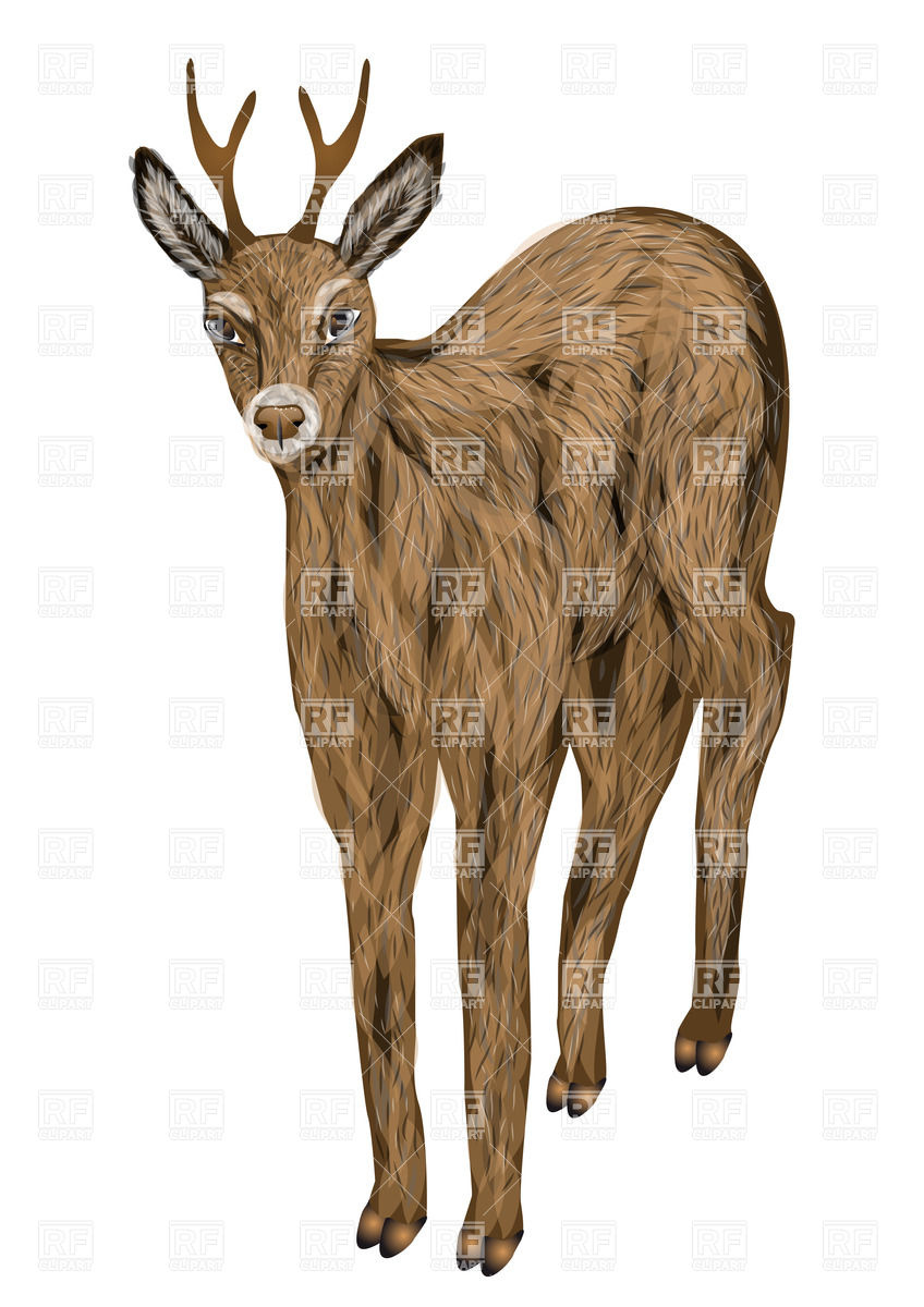 Roe deer isolated on a white background Vector Image #31972.