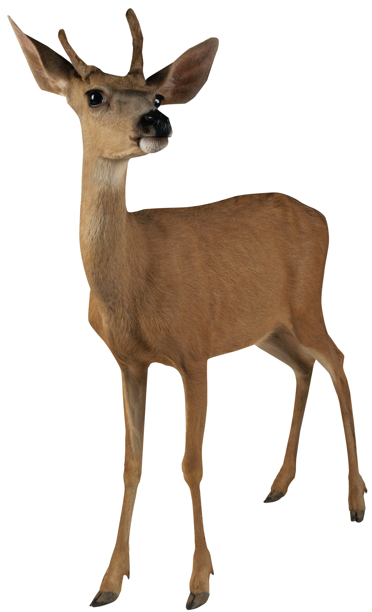 Deer Roe PNG Picture.