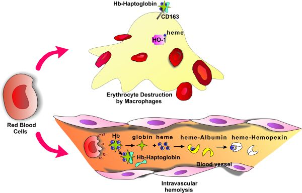 Haptoglobin and Hemopexin in Heme Detoxification and Iron.