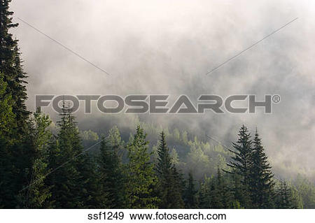 Stock Photograph of Forests in the Selkirk Range shrouded in mist.
