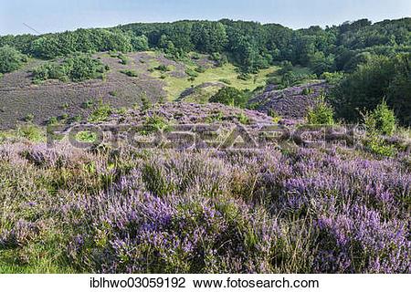 "Stock Photo of ""Blooming heather in Rebild Bakker Nature Reserve."