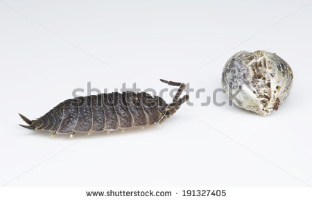 Wood Louse Stock Photos, Royalty.