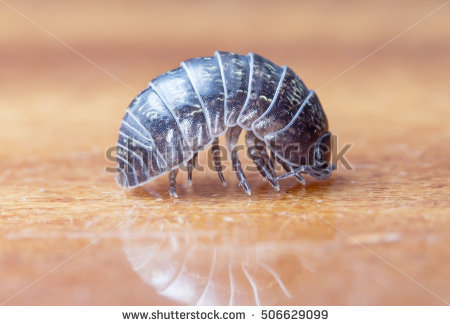 Woodlice Stock Photos, Royalty.