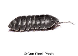 Woodlouse Stock Photos and Images. 246 Woodlouse pictures and.