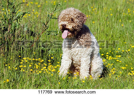Stock Photograph of dog, Lagotto.
